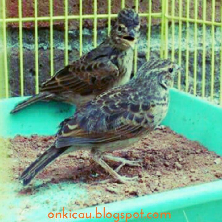 Ciri Ciri Perbedaan Burung Branjangan Jantan Dan Betina On Kicau