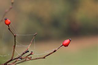 hình ảnh nhện đỏ hoa hồng