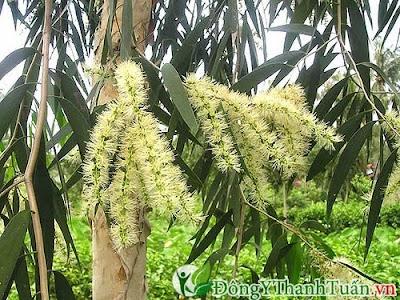 Dùng cây khuynh diệp chữa viêm họng bằng thuốc nam