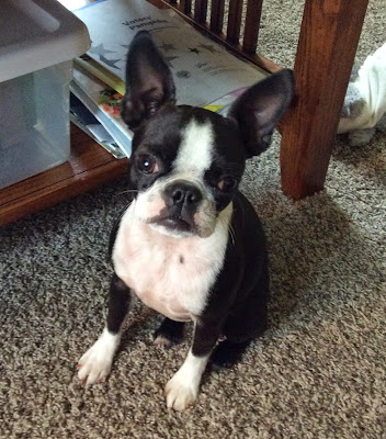 Sinead the Boston terrier without a sweater