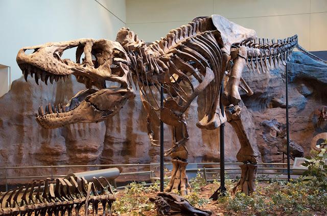 tiranozaur schelet