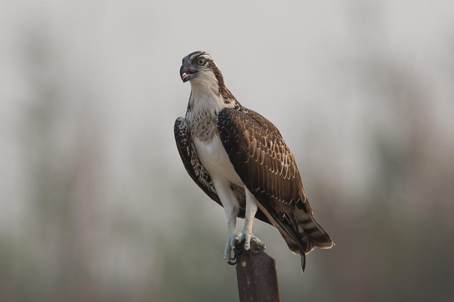 Juvenile Western Osprey – Jubail