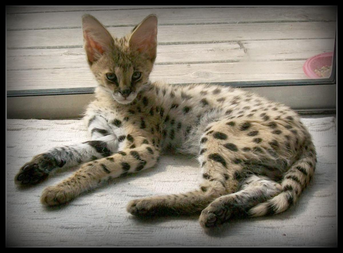 BENGALS! The Bengal is an exotic-looking domestic breed of ...  |Large Exotic Domestic Cats