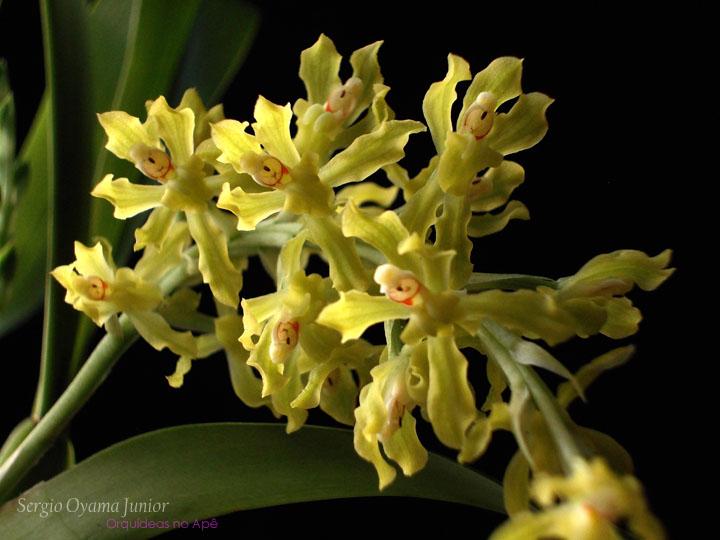 Orquídea Gomesa crispa
