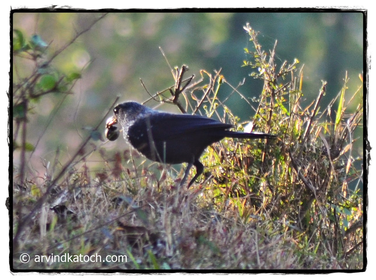Blue Whistling Thrush, Nut, Beak