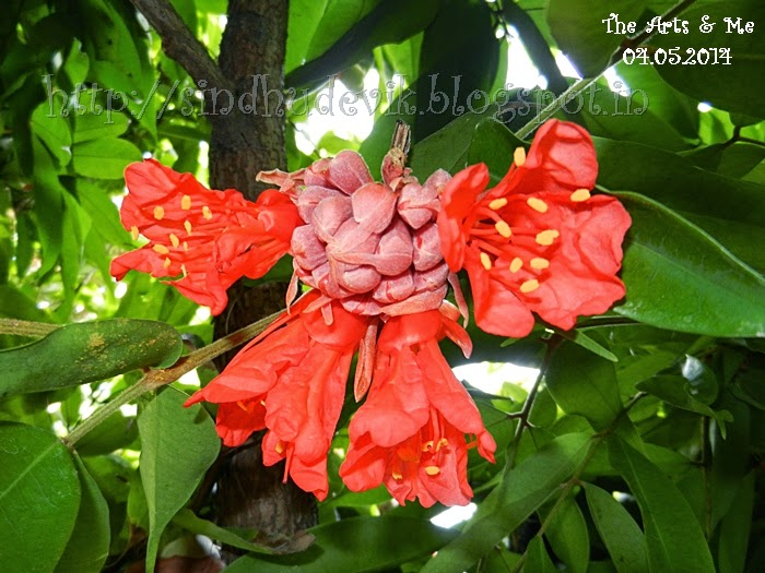 Lal Zumbar or Brownea Coccinea Flowers Blooming