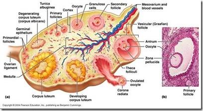 proses pelepasan ovum pada ovarium