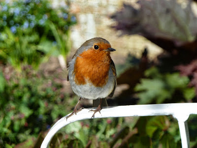 Robin - Birds at Heligan