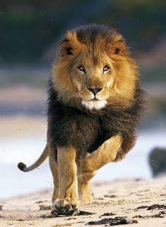 اسرع 5 حيوانات في العالم lion2.jpg