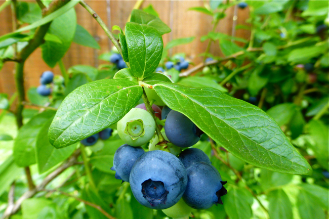 blueberries, garden, kuchen, quick coffee cake, dessert