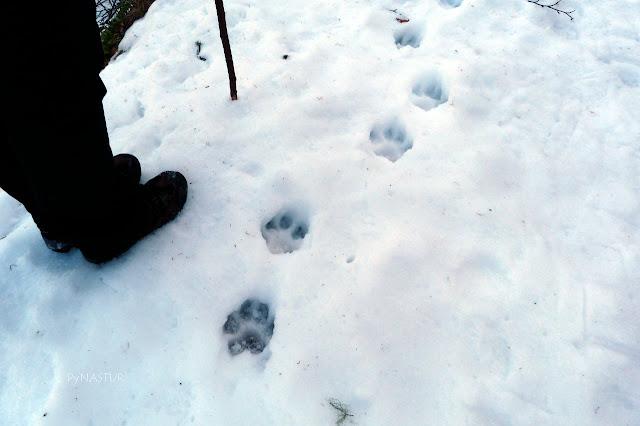 Huellas de oso en el Hayedo de Montegrande