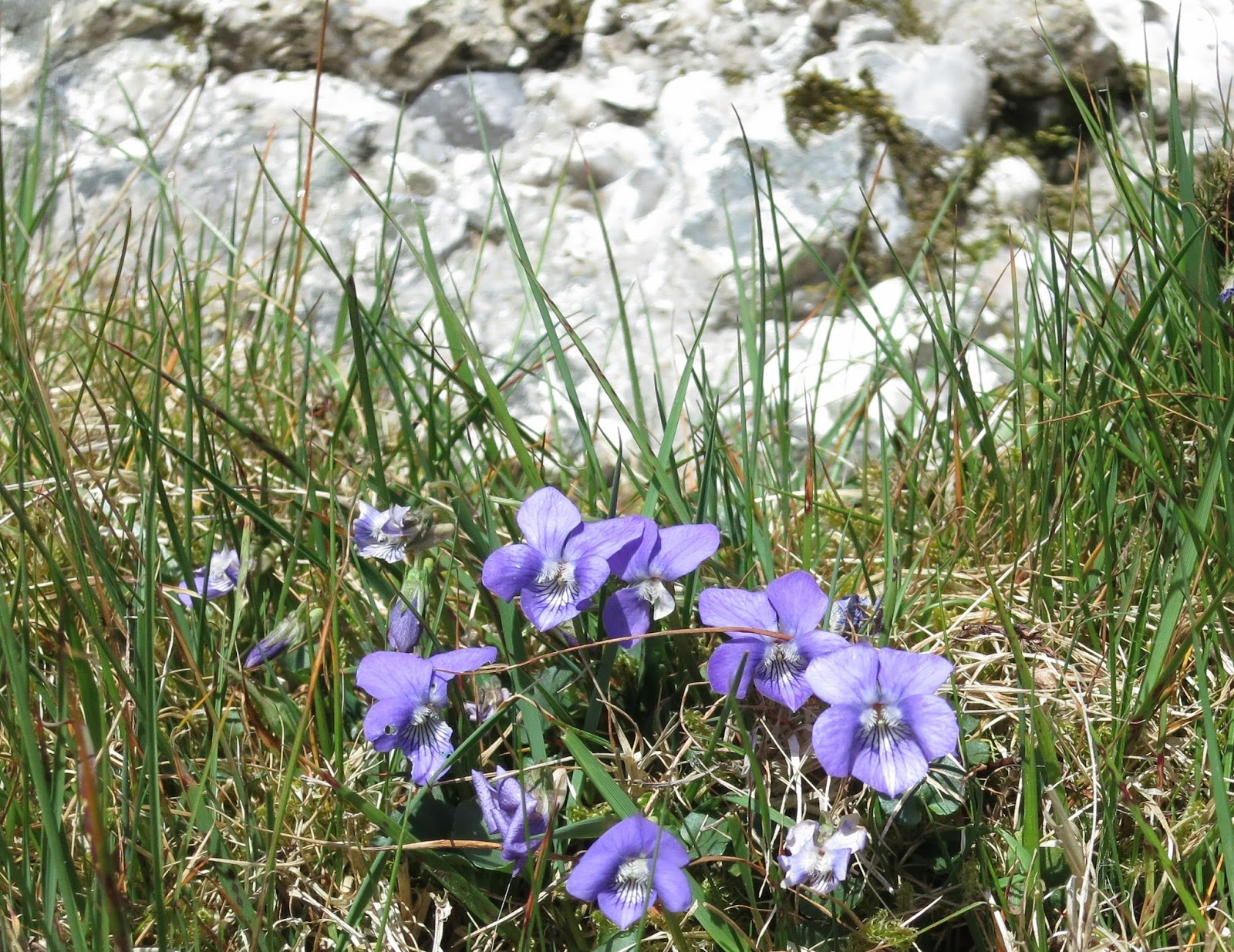 Wild violets beside one of the boulders.