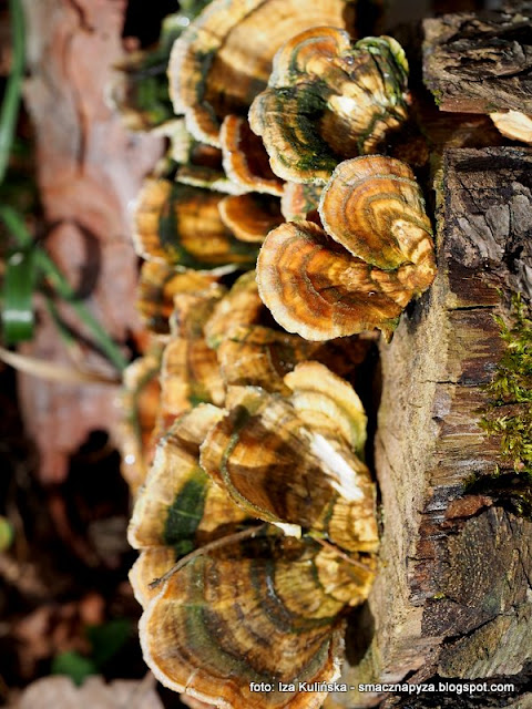 grzyby nadrzewne, nadrzewniaki, grzyb na pniu,
