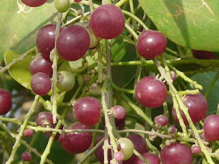Salvadora persica fruit pictures