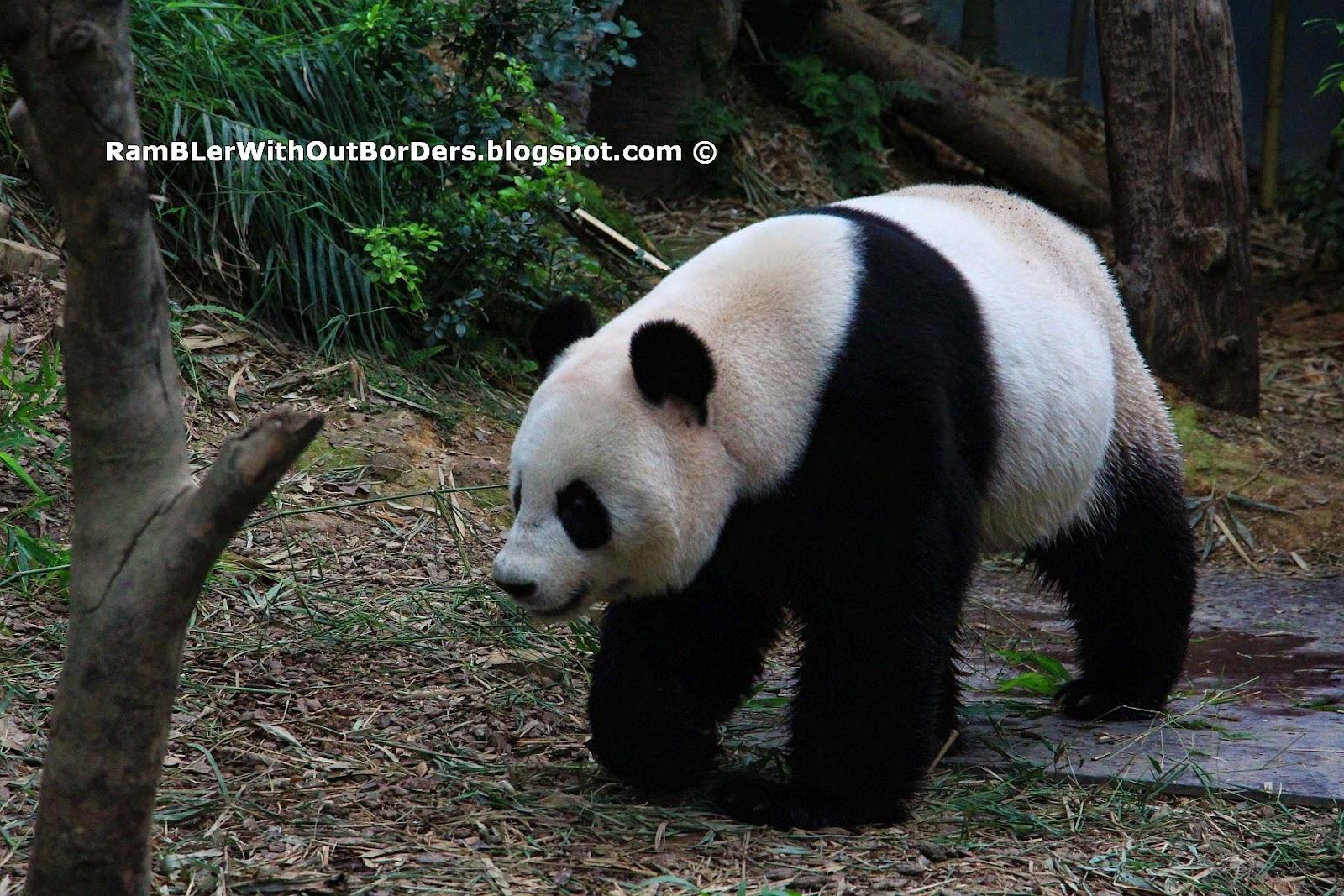 Panda walking, River Safari, Singapore