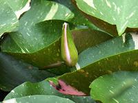 花博記念公園鶴見緑地 日本庭園 睡蓮池