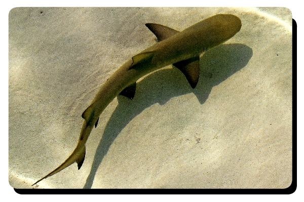 Baby lemon shark