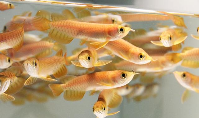 Dunia Ikan Hias - Tips Budidaya Ikan Arwana Dalam Akuarium