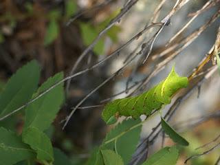 Chenille du Sphinx aveugle - Paonias excaecatus