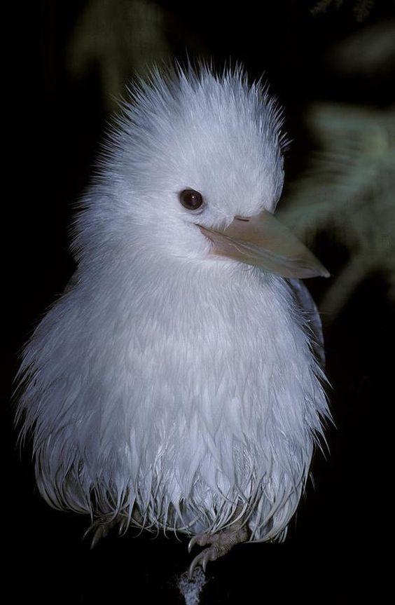 Kookaburra | A-Z List of 125 Rare Albino Animals [Pics]