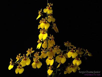 Orquídea Oncidium Aloha 'Iwanaga'
