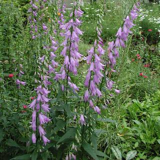 composiciones de Adenophora en jardines