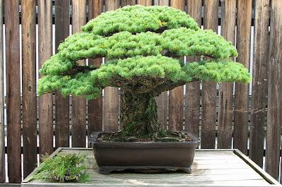 El bonsai centenario que resistió la bomba atómica de Hiroshima