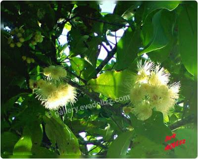 Putik jambu, Jambu Air - Rose Apple Fresh Pictures