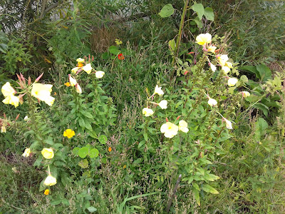 Allotment Growing - Wildflowers - Evening Primrose