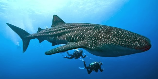 Whale Shark, ikan paus raksasa