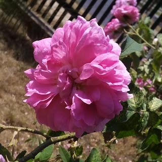 Róża damaceńska, róża jadalna, przetwory z róży, marmolada z róży, z płatków róży,