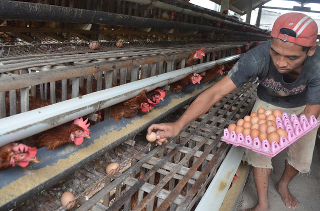 Perkiraan Modal Dan Keuntungan Usaha Ternak Ayam Petelur Analisa