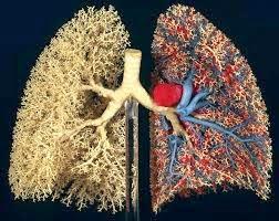 poumons : fonctionnement,Échanges gazeux,ses éléments,Circulation...