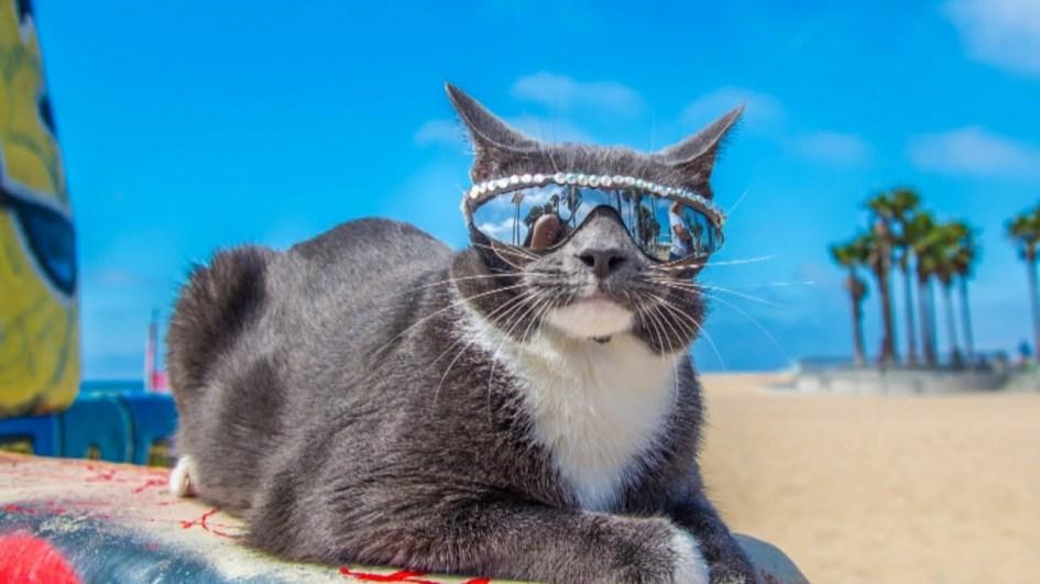 Картинки по запросу кот в солнечных очках