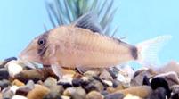 Jenis Ikan Corydoras septentrionalis
