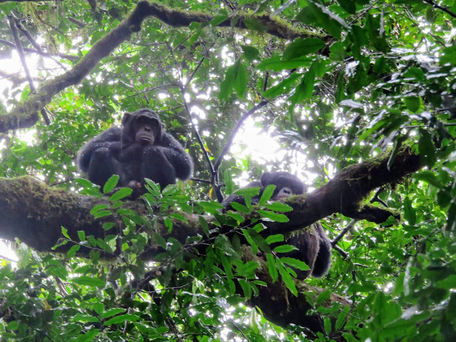 Chimps in a tree in the rain in Uganda