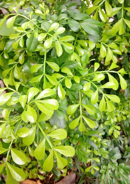 Kemuning Cina (Aglaia odorata),