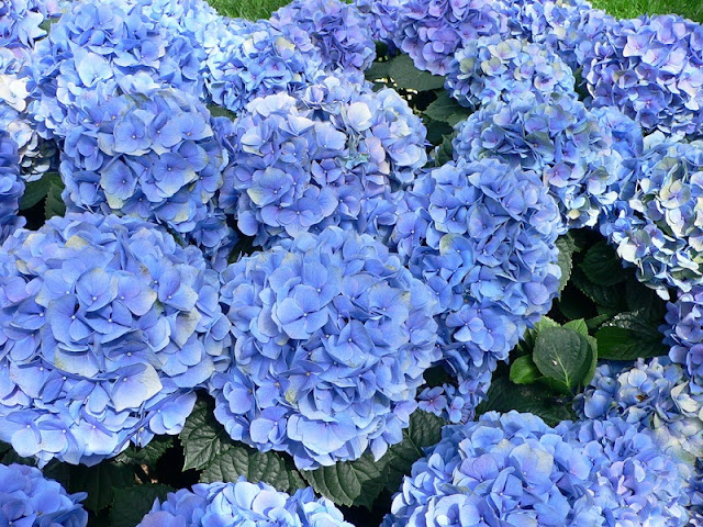Discovering hydrangeas field in Da Lat 4
