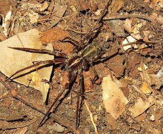 wandering spider, Ctenidae