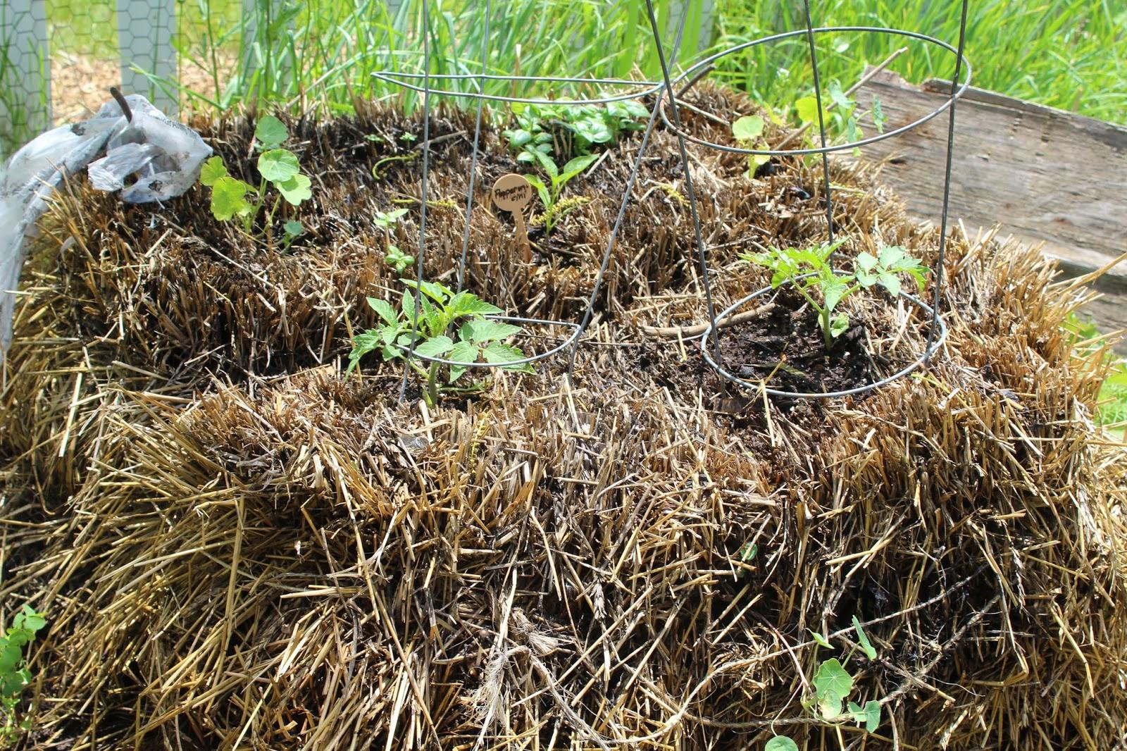 Daft Garden: Straw Bale Gardening: The Prep: Conditioning