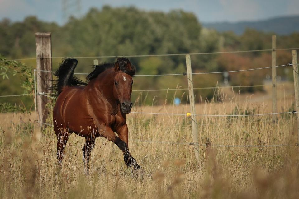 Cheval, Arabian Horse, Pâturages