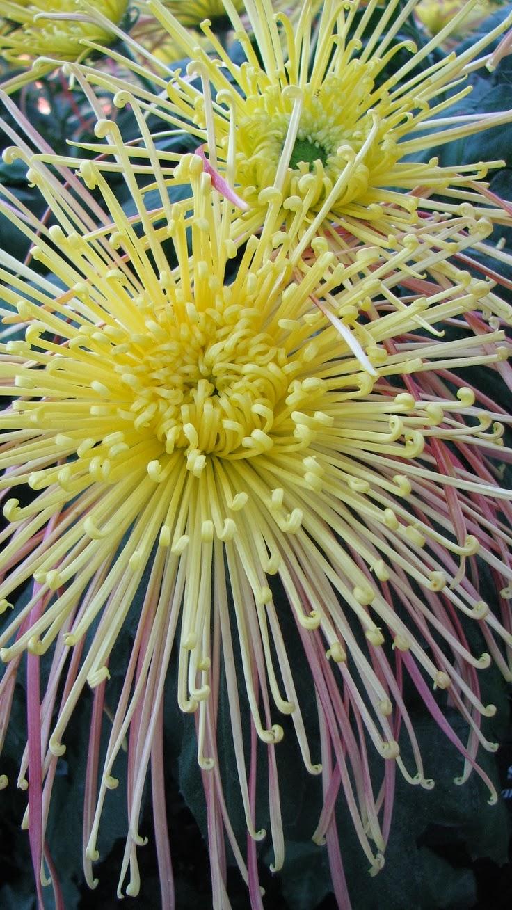 chrysanthemum x morifolium - photo #17