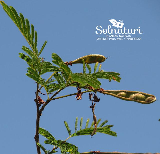 Calliandra parvifolia Flor de Seda frutos