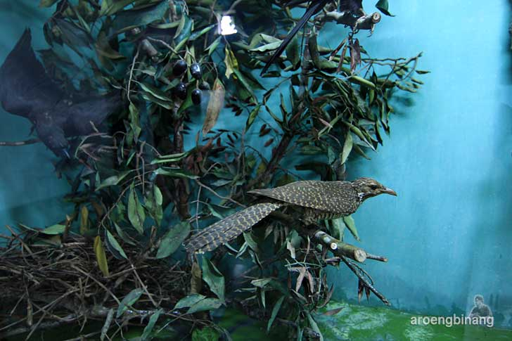 culik-culik tuwu museum zoologi bogor