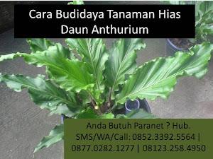 Panduan Lengkap Cara Budidaya Flora Hias Daun Anthurium