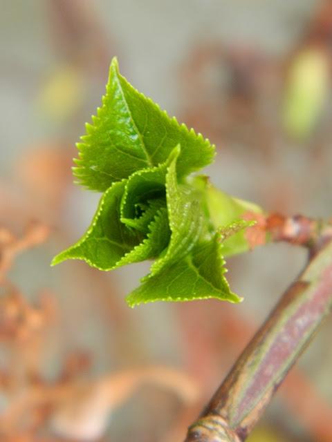 slow gardening, hortensja pnąca