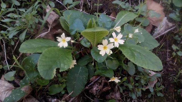 Flores de Asturias: Primaveras silvestres, las primulas vulgaris son flores amarillas típicas de invierno.