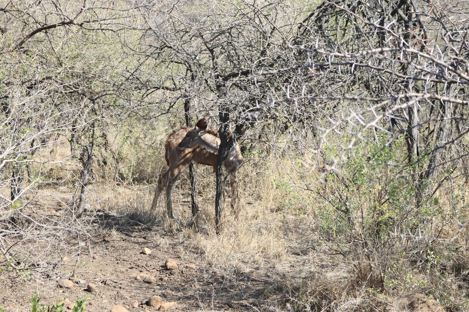 Deer in the Nambiti Game Reserve, South Africa