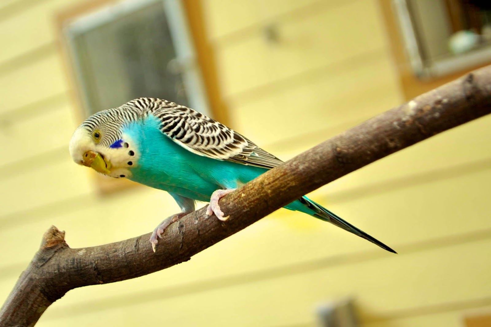 Picture of a Australian parakeet in the garden.