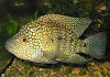 Ikan Green Texas Cichlid